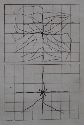 Асмовидна формировка по типа Гюйо с четири плодни пръчки