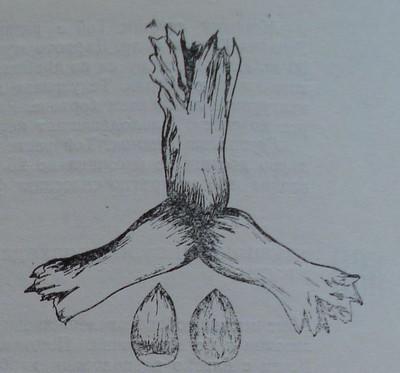 Бадемовиден лешник