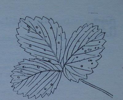 Бели листни петна по ягодата