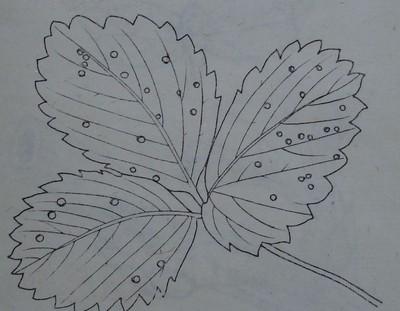 Бели листни петна по ягода