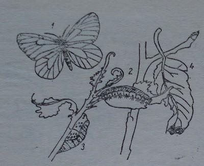 Бяла овощна пеперуда
