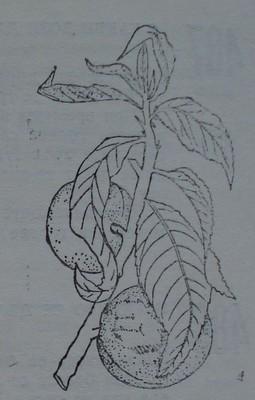 Брашнеста мана по листа и плодове на праскова