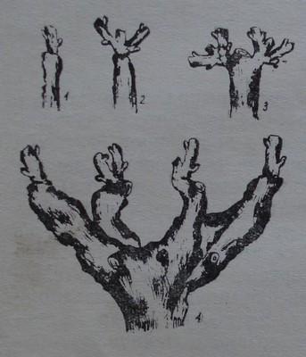 Чашовидна формировка - формиране чрез чепове