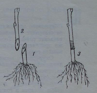 Части на присадено овощно дръвче.