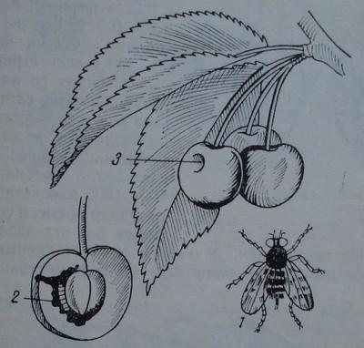 Черешова муха