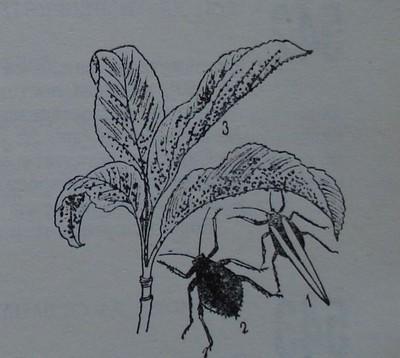 Черна черешова листна въшка
