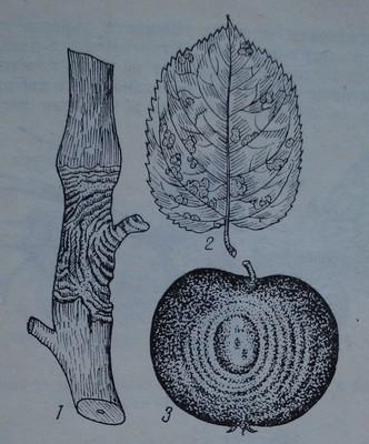 Черно гниене по ябълка