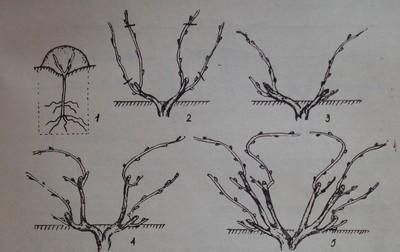 Четирираменна ветриловидна формировка с подменящи се рамена