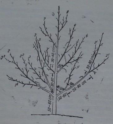 Ябълково дърво, формирано по подобрена етажна корона, с добра подчиненост на клоните