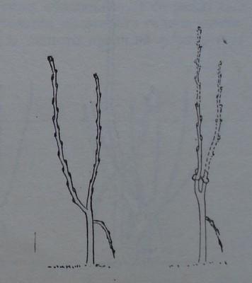Ябълково дръвче с две средни по сила на растеж скелетни клопки