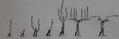 Формиране на двоен Гюйо с високо стъбло