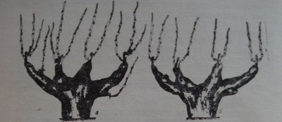 Филизене при чашовидната формировка