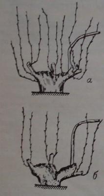 Филизене в основата на главините при резитба единичен Гюйо