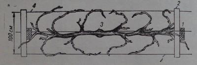 Кордон Ленц Мозер - конструкция за обилно плододаване гледана отгоре
