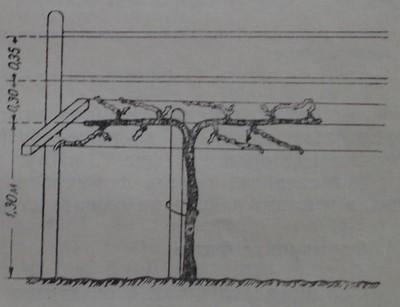 Кордон Ленц Мозер - конструкция за обилно плододаване