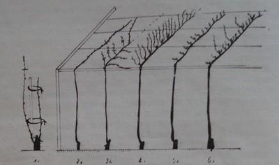 Формиране на асма от първа до шеста година