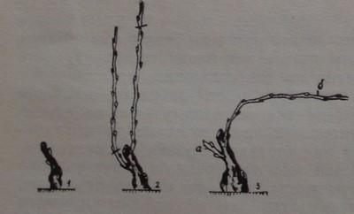 Формиране на лозите- оригинален единичен Гюйо