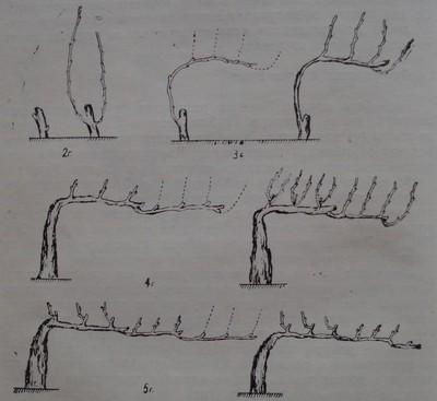 Формиране на кордон Роая