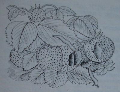 Голи охлюви по ягода