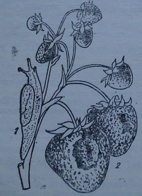 Голи охлюви по ягодата