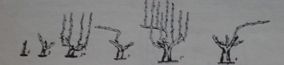Формиране на единичен Гюло при лозички с добър растеж