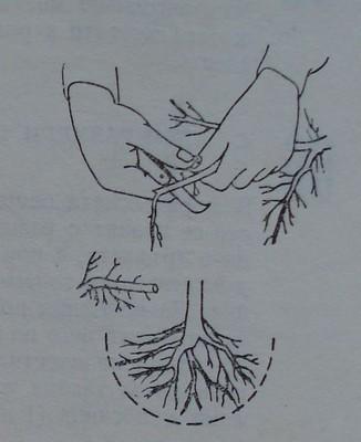 Изрязване на повредените корени