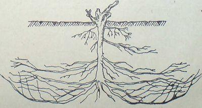 Извиване на корените на лозата нагоре при близки подпочвени води и топлина