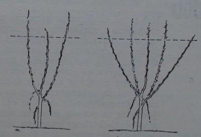 Ябълково дръвче, на което скелетните клонки са по-дълги от водача