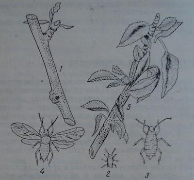 Ябълкова листна въшка