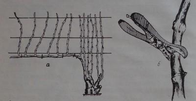 Колцуване на плодна пръчка при резитба Гюйо