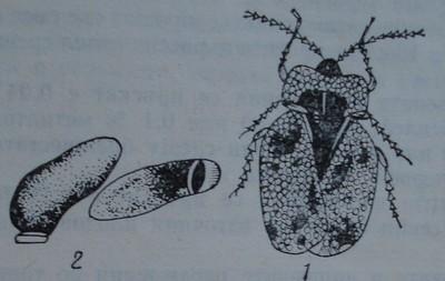 Крушова дървеница