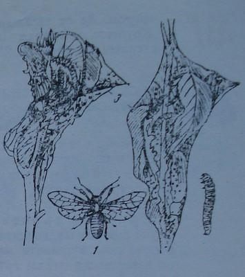 Крушова листна оса