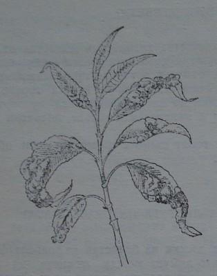 Къдравост по листата на праскова