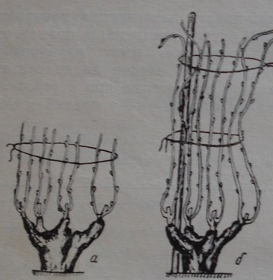 Кършене на лозите при чашовндна формировка
