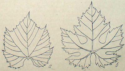 Листна петура