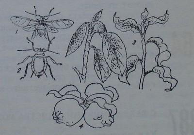 Листни въшки по ябълката