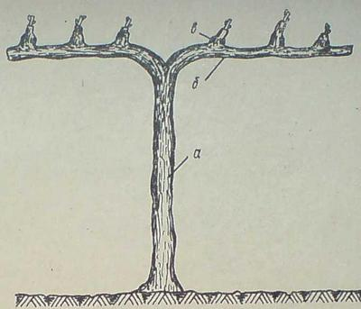 Лоза с високо стебло и кордони