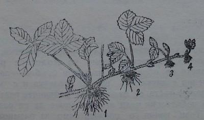 Майчино ягодово растение с розетки