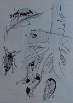 Майски бръмбар