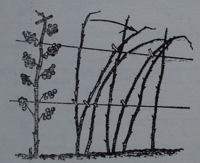Малинови растения, привързани за телена конструкция