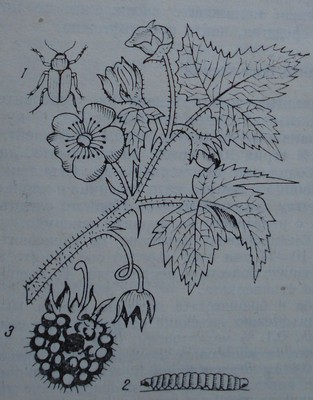 Малинов бръмбар