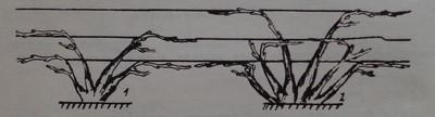 Многораменна ветриловидна формировка без стъбло