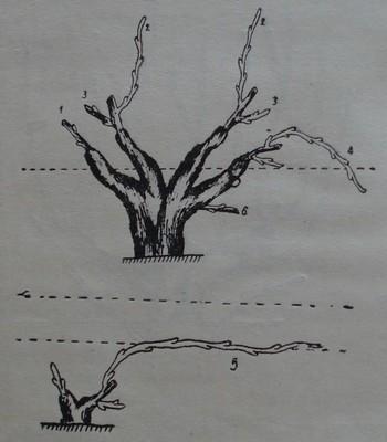 Наименование на пръчките след резитбата