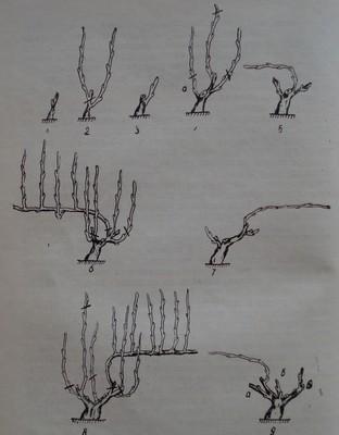 Формиране на подобрен Гюйо (единичен) при лозички със среден растеж