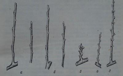 Обрастваща дървесина при прасковата