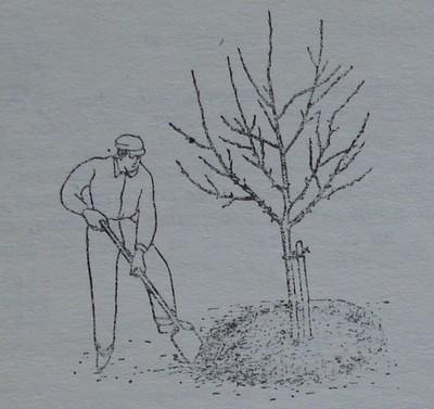 Правилно окопаване около дръвче