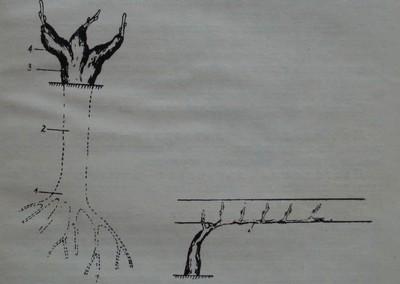 Основни съставни части на лозовата главина