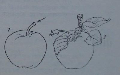 Откъснати ябълкови плодове