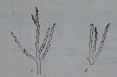 Отрязване на клонче над вътрешна пъпка