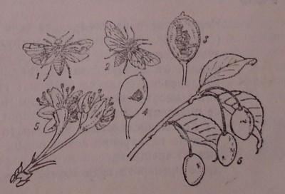 Сливова плодова оса
